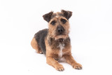 small border terrier dog isolated on white background