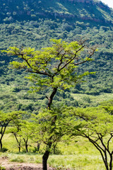 An Acacia tree in the African bush.