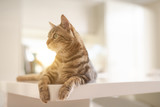 Beautiful short hair cat lying on white table at home - 244965299