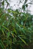 grüner Bambus im Garten bei Regen