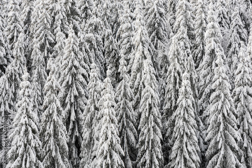 Texture of winter forest for background. - 244980878