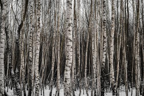 Snowy birch forest in winter