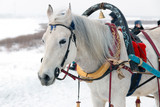 Portrait of a beautiful white horse harnessed to a traditional Russian harness with a bell, in the winter in the snow - 244982862