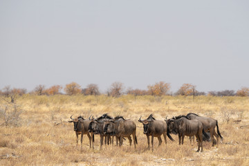 A small herd of wildebeest in Etosha National Park - Namibia.