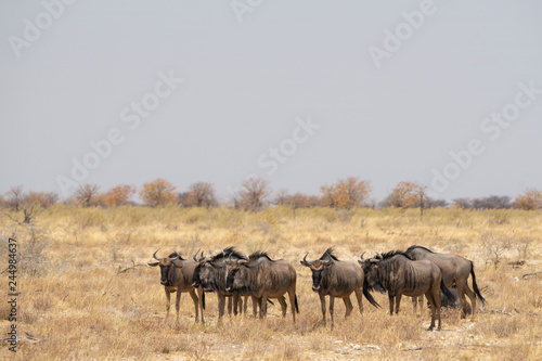 A small herd of wildebeest in Etosha National Park - Namibia. © Danny