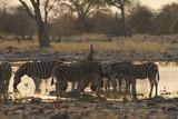 Fototapeta Fototapeta z zebrą - stado zebr przy wodopoju w popołudniowym słońcu na sawannie © Jan
