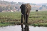 Fototapeta Sawanna - afrykański słoń przy wodopoju w mglisty poranek © Jan