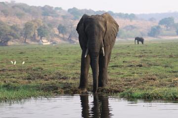 afrykański słoń przy wodopoju w mglisty poranek