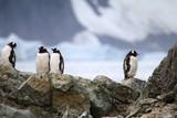 pingwiny stojące na skałach z lodowcem w tle w naturalnych warunkach na antarktydzie