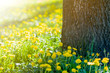 Beautiful spring or summer wild forest or park on bright sunny day. Thick big tree trunk and lavishly blooming yellow flowers on blurred green foliage bokeh background. Beauty of nature concept.