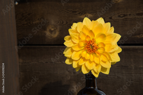 Giant Yellow Dahlia Blooming in the Sun Rustic Wood Background