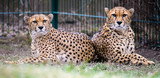 two cheetahs preparing for hunt, cheetahs focused on prey, attractive scene with two cheetah brothers preparing for hunt