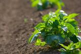 Detail of potato crop growing in soil in farm field  - 245038404
