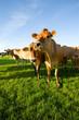 Herd of jersey cattle grazing in field on livestock farm