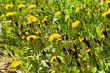 A field of dandelions - 245058292