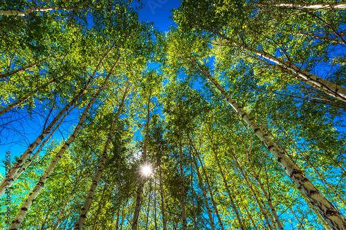 Birch grove. Siberia