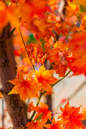 Yellow maple leaf in autumn - 245072828