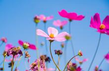 "Постер, картина, фотообои ""Cosmos flowers blooming on blue sky background"""