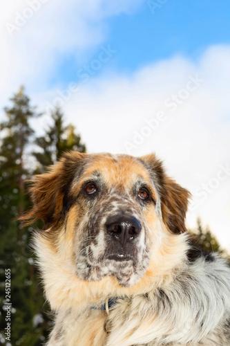 Dog head portrait, trees and blue sky, copy space © Kisa_Markiza