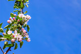 Branch of apple trees with flowers on the background of the blue sky. Copy space_