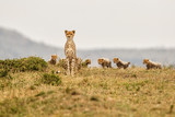 This cheetah mother had 6 cubs she was skinny and looking for food in the Masai Mara National Park in Kenya