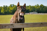 Fototapeta Konie - laughing horse © Barbara
