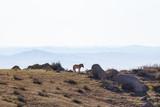 Fototapeta Konie - Mongolian wild horse, Przewalski's horse © Olivier
