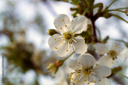 Branch of cherry blossoms. Focus on the foreground. Shallow depth of field. - 245166226