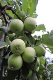 Green apples ripening on an apple tree branch