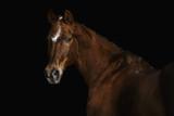 Portrait of a Trakehner horse on a black background - 245181419