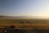 Fototapeta Sawanna - dwie samotne antylopy pasące się na wielkiej równinie afrykańskiej w parku serengeti o poranku © Jan