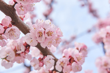 Light pink beautiful blooming tree of sakura on background of sky in spring. Spring concept.