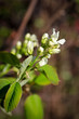 A cluster of saskatoon berry blossoms against a blurred brown background