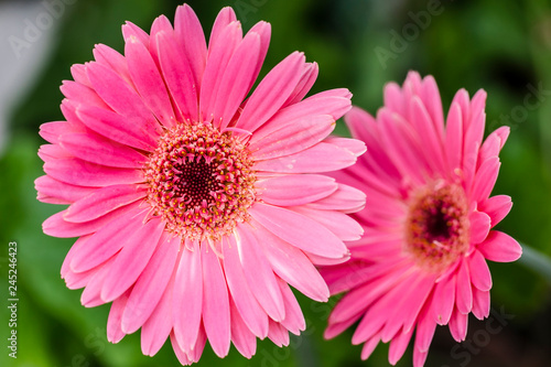 close up of colorful gerbera flowers  - 245246423