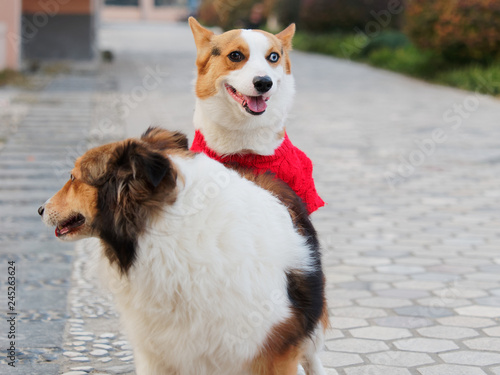 de38011e Cute black headed tricolor welsh corgi pembroke dog with red sweater try to  have sex with