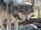 Wolf Stare
