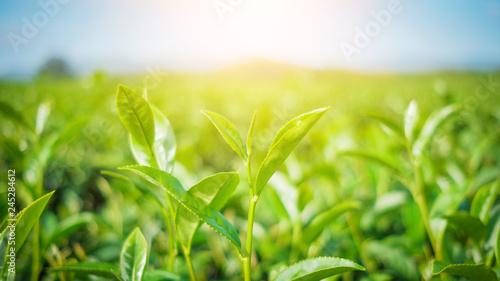 fototapeta na ścianę Fresh tea leaves and good weather in the morning