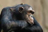 Closeup of a chimpanzee resting its head on its arms