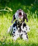 Dalmatiner jault