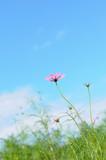 Fototapeta Kosmos - 青空とコスモス © araho