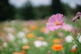 Fototapeta Kosmos - Pink Cosmos Flower In a field © rossco