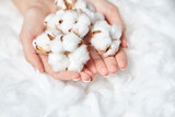 Natural cotton flowers in the female hands