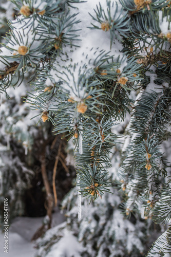 Ice on the spruce close up winter. - 245347876