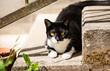 chat noir et blanc mange de l'herbe  - 245348444