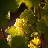 Raisin blanc dans les vignes