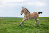 Palomino foal running on the meadow. - 245384699