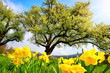 Spring scenery with yellow daffodils in the foreground