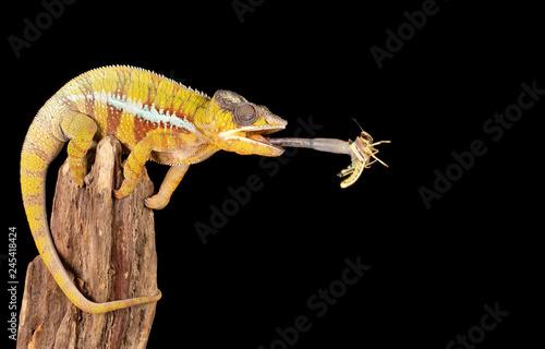 Chameleon catching a locust