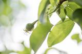 Unreifer Apfel am Obstbaum Zweig im Garten im Frühling Frühsommer