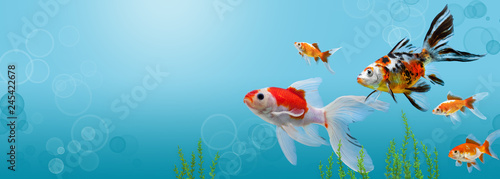 Collage of aquarium gold fish on blue background, banner with copy space, mock up template